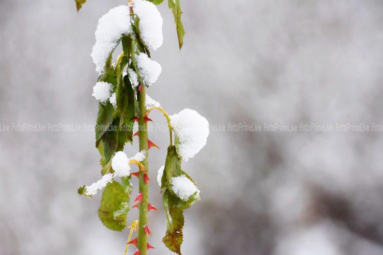 Шипы под снегом